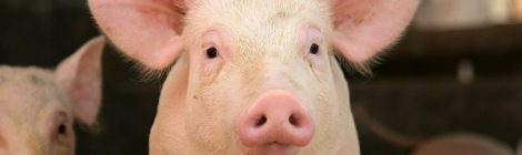 Hope for sows