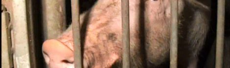 Action alert: help end the confinement of sows in gestation stalls!
