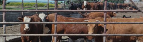 Review of the updated code of care for cattle