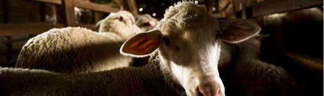 Aidez à mettre fin à l'exportation de moutons canadiens pour l'abattage