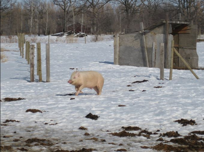 Wilbur, the pig CETFA rescued from a trailer accident, on a first day of snow.