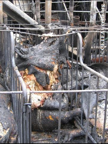 Burned sow who attempted to escape gestation crate during fire.