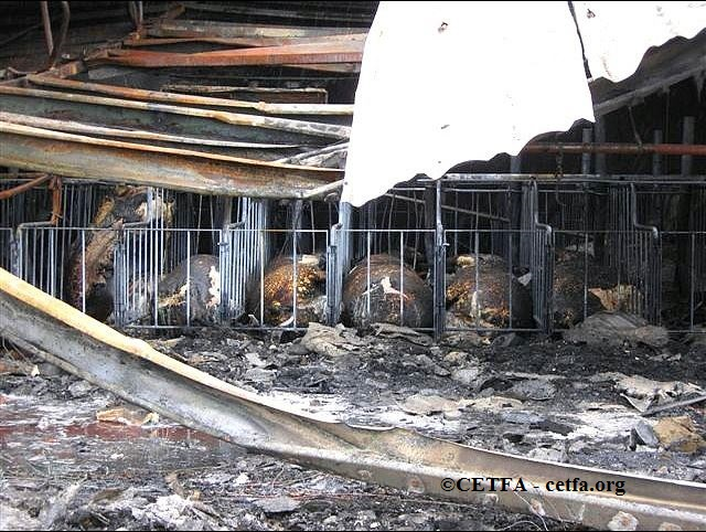 Burned sows in gestation crates.