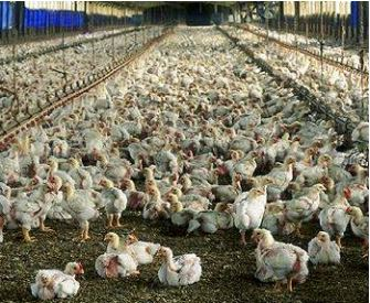 Factory farmed broiler chickens.