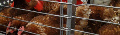 Soutenez l'élimination par Calgary Co-op de la vente d' œufs et de porc provenant d'animaux élevés dans des cages de confinement
