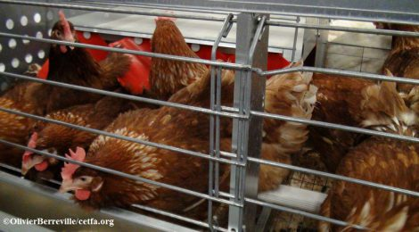 Support the phase out of caged eggs and pork by the Calgary Co-op