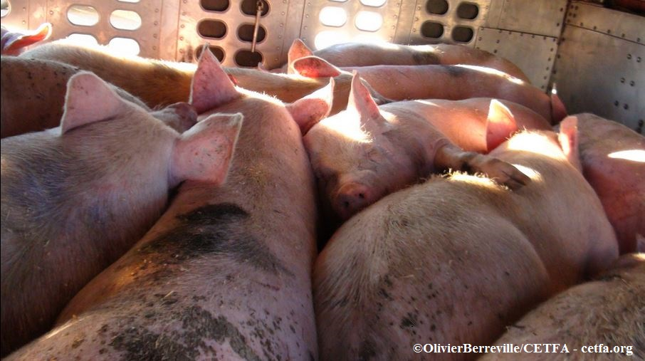 Pigs overcrowded on transport truck.