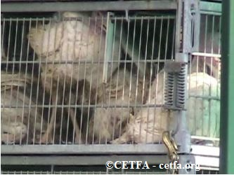 Turkeys in transport crate, unable to stand up.