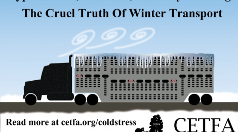 HELPING FARMED ANIMALS IN COLD WEATHER - Part II: In Transport