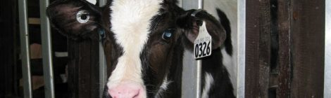 Increased pressure on veal producers to move away from cruel veal crates