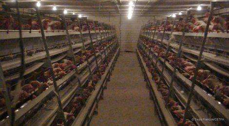 L'Alberta devrait progressivement éliminer les cages en batterie pour les poules pondeuses