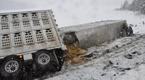 HORRIFIC CATTLE TRAILER ACCIDENT IN ONTARIO