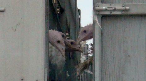 Turkey Trailer Rollover Highlights Need to Improve Animal Transport Regulations