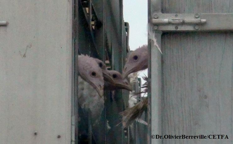 Turkeys on transport truck.