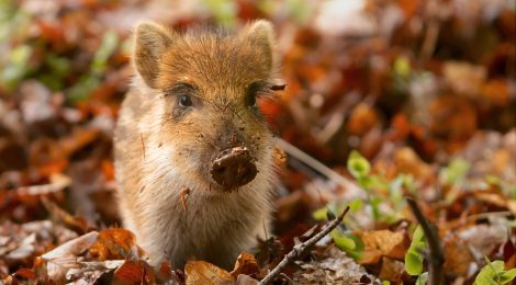 WILD BOAR: AGRICULTURE'S LATEST VICTIM