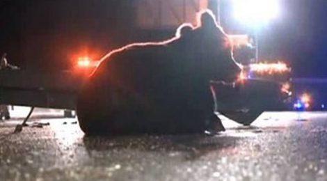 LIVESTOCK TRAILER ACCIDENTS CONTINUE