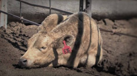 Drug-Laced Feed Tied to Hoof Loss in Cattle Re-Approved for Use in Canada