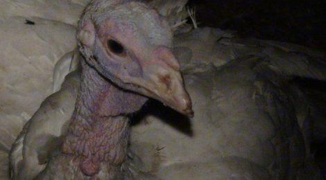 Bird Flu Outbreak in Ontario Farm
