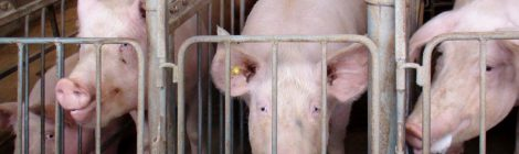 Say No To More Pig Barns in Manitoba