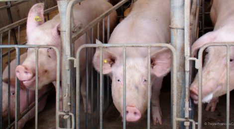 Say No To More Pig Barns in Manitoba