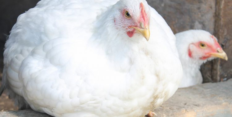 "Chicken Meat ""Defects"" Are a Sign of Animal Suffering"