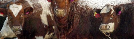 "Beef Industry's ""Quality-Defects"" are Sign of Animal Abuse"