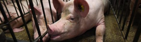 SHUT THE DOOR TO MORE PIG BARNS IN MANITOBA: STOP BILL 19