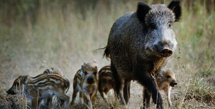 Stop the Mass Slaughter of Wild Pigs