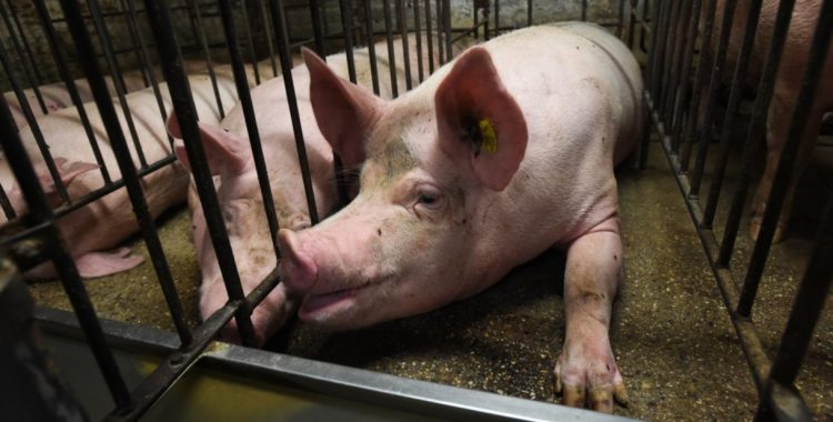 """""""What We Heard"""" Exactly What They Wanted to Hear: Manitoba's Ag-Gag Survey"""