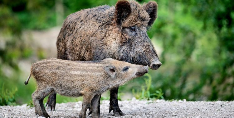 Wild Boar Stage Rescue of Trapped Piglets
